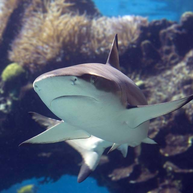 Blacktip At Sea Life
