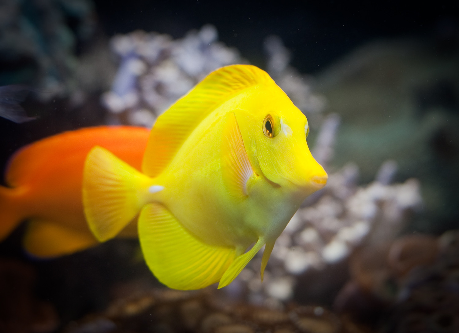Yellow Tang At Sea Life